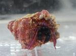 ヘイグサンゴヤドカリ(Calcinus haigae)